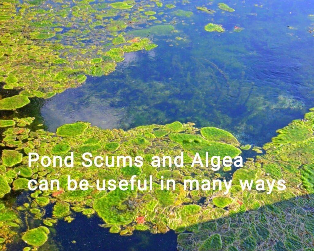 pond scum-algae uses