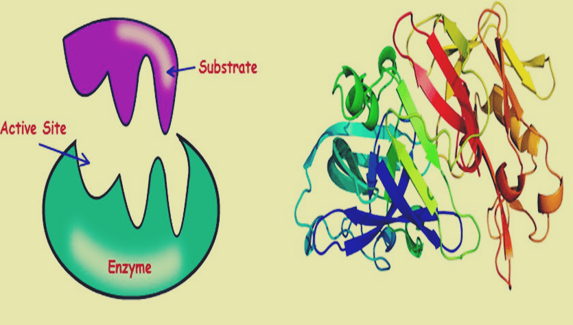 What is enzyme and how does enzyme function?
