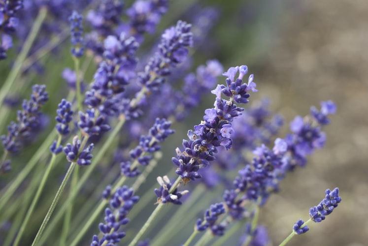 fresh lavendar in the field