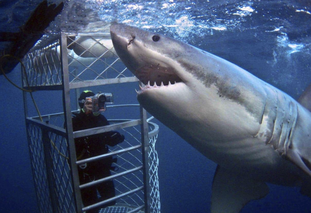 cage dive with great white sharks, dyer island south africa