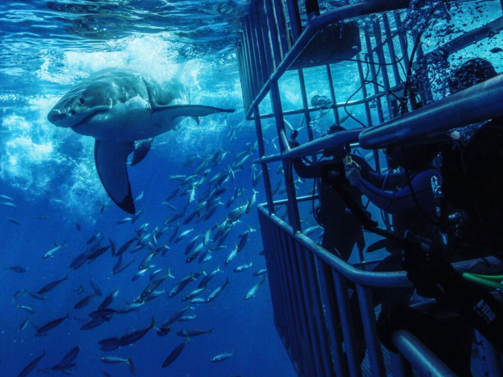 cage diving with great white sharks, isla guadalupe mexico