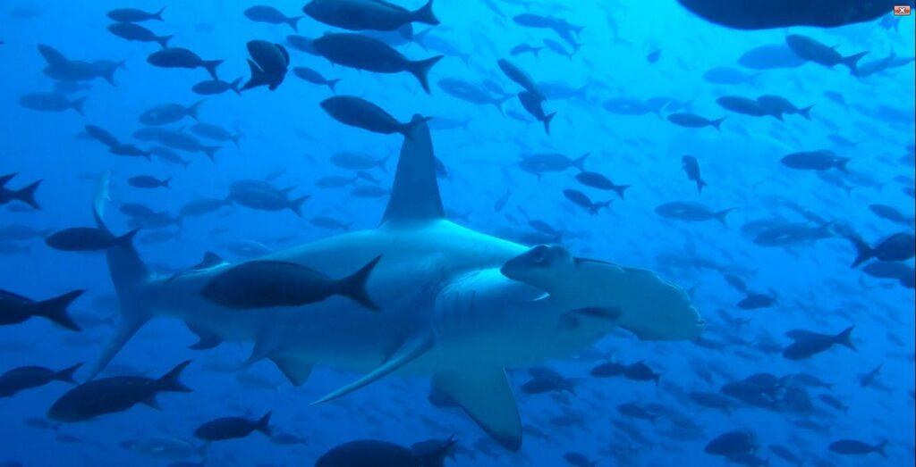 hammerhead shark galapagos islands