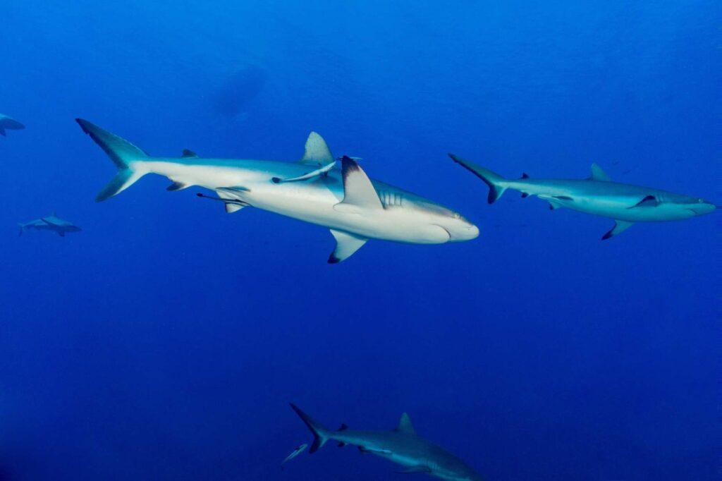 grey reef sharks diving in Fakarava polynesia