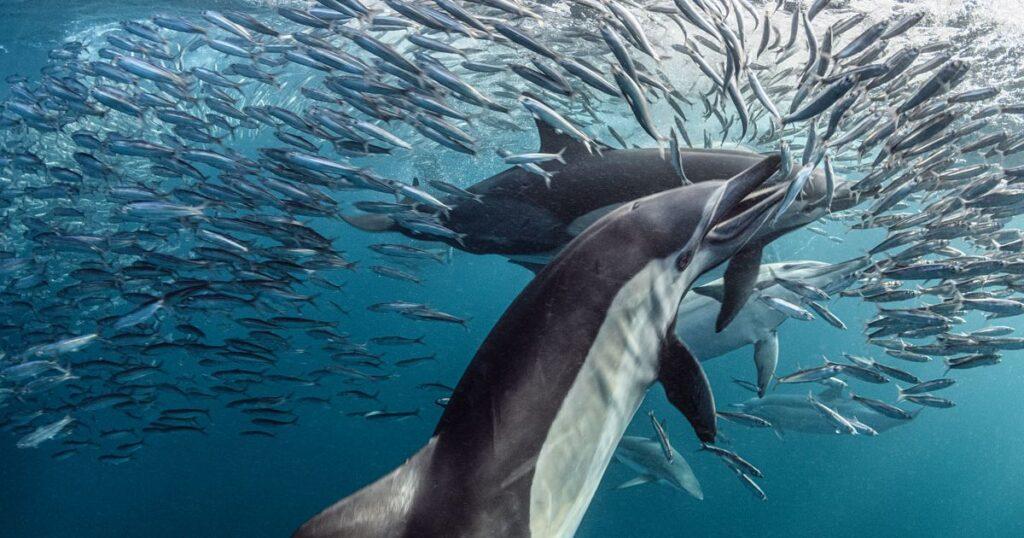 dolphins feeding on sardines great sardine run south africa